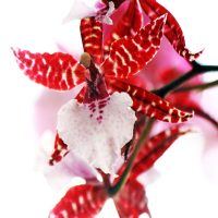 36th Int'l Orchid & Bromeliad Show