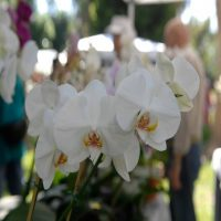 Orchid Care – Diagnosing Pests & Diseases
