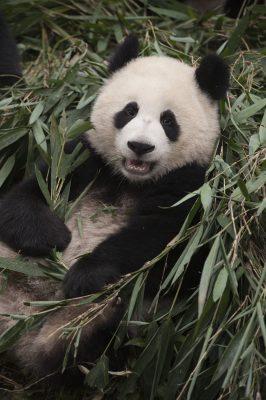 Pandas: The IMAX 3D Experience