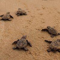 Summer Time Moonlight Sea Turtle Walks