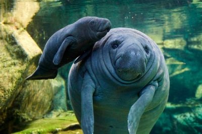Mermaids & Manatees: The Art of Sirens and Sea Cows