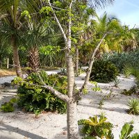 Of Baobabs and Princes: Musings about some Bonnet House Trees